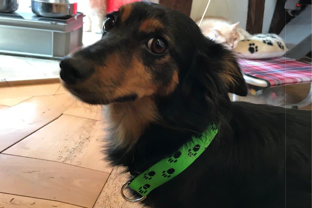 Hundehalsband mit Pfoten in Limette